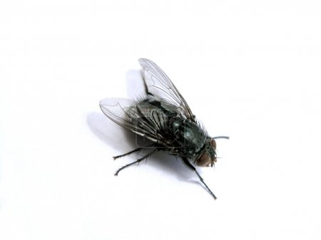 Photo for A macro fly - Royalty Free Image