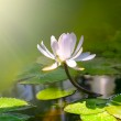 Water lily flower...