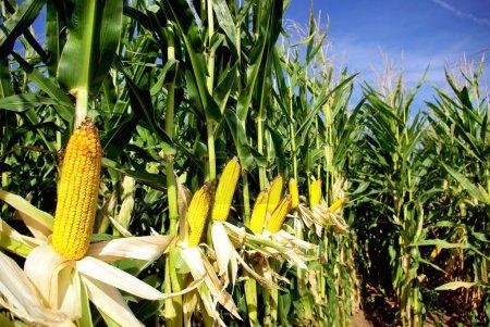 Yellow corn.