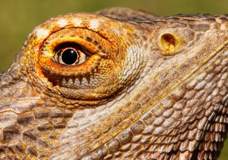 Bearded Dragon Closeup