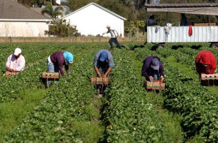 Photo pour Ligne de cueilleurs de fraises sous le soleil chaud de la Floride. Travailleurs migrants travaillant pour de faibles salaires sur le terrain . - image libre de droit