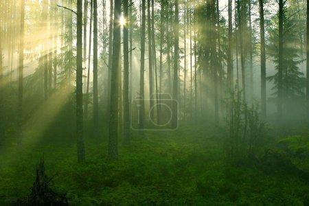 Photo pour Rayons de soleil traversant une forêt brumeuse photographiée tôt le matin d'été . - image libre de droit