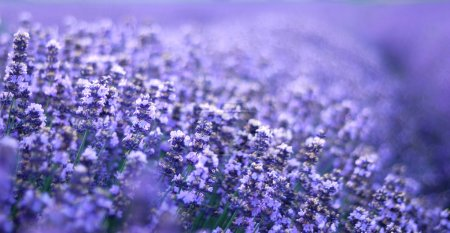 Photo for Lavender field.closeup detail of a herbal plant - Royalty Free Image