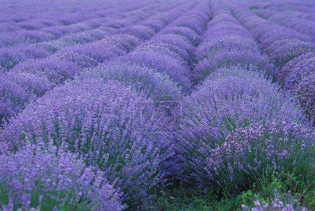 Photo pour Champ de couleur lavande. paysage d'une usine de fines herbes - image libre de droit