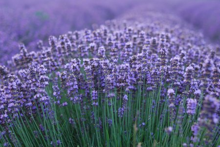 Photo for Macro of lavender plant. herbal landscape of aromatic plant. - Royalty Free Image