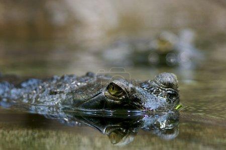 Look of a crocodile