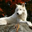 On a colorful fall day, an arctic wolf is laying o...