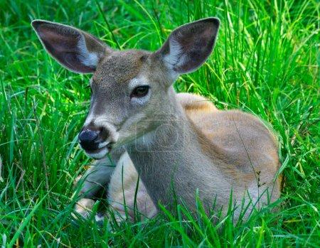 Photo pour Il s'agit d'une jeune biche au repos sur l'herbe. - image libre de droit