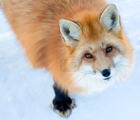 Photo pour Un permanent du renard sur la neige est regardant la caméra. - image libre de droit