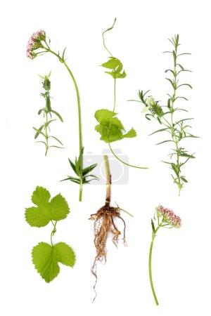 Valerian, Lavender and Hop Herbs