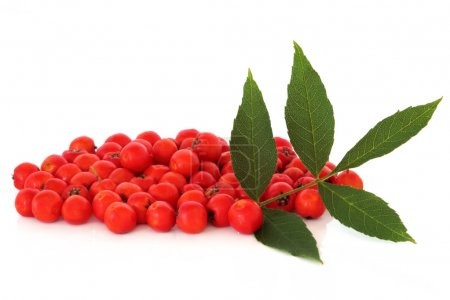 Rowan Berry Fruit