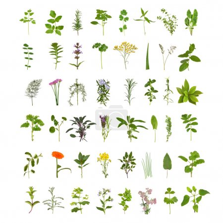 Photo for Large medicinal and culinary herb flower and leaf collection, isolated over white background. Forty eight herbs. - Royalty Free Image