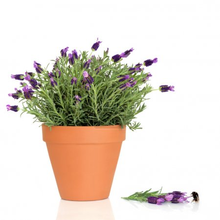 Lavender Herb Flowers and Bumble Bee