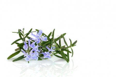 Photo for Rosemary herb leaf in flower over white background. - Royalty Free Image