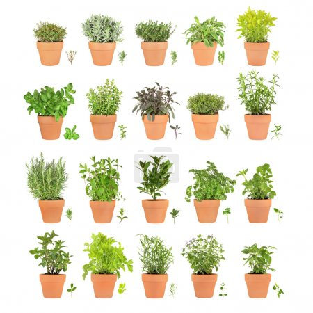 Photo for Large herb selection growing in terracotta pots with leaf sprigs over white background. - Royalty Free Image