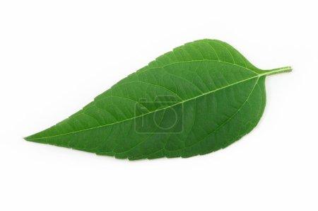 Photo pour Feuille vert isolé sur fond blanc - image libre de droit