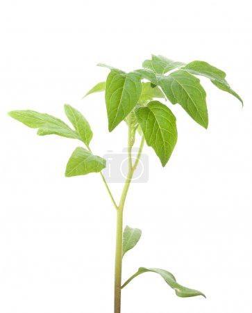 Photo for Green plant isolated on white background - Royalty Free Image