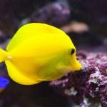 Tropical fish - Zebrasoma flavescens...