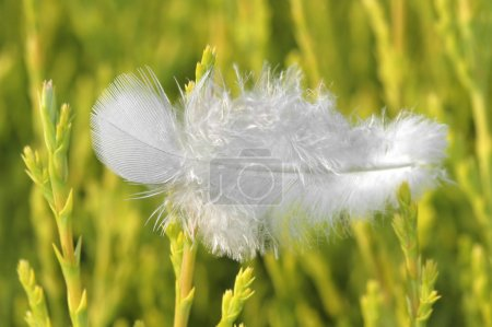 Photo for Single white feather resting on vegetation - Royalty Free Image