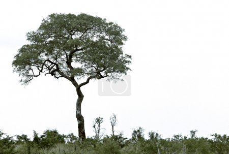 Lonely tree on hill.