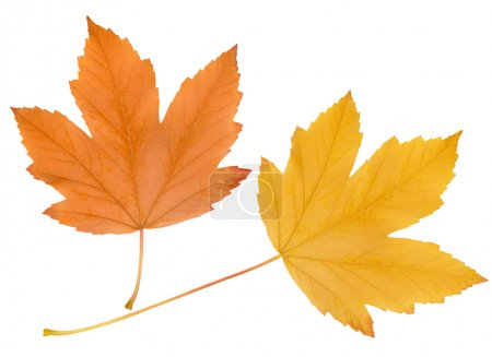 Autumn leaves isolated on white backgrou