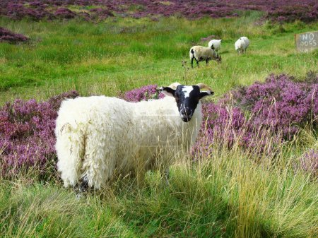 Sheep in the Scottish highlands