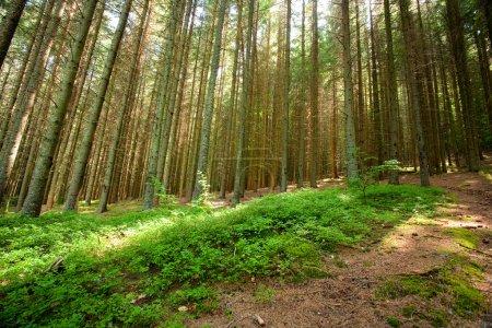 Photo pour Paysage avec forêt de pins sur une montagne - image libre de droit