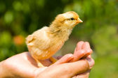 Baby chick on palm