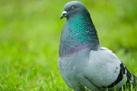 Photo pour Pigeon dans un parc, sur un fond vert flou - image libre de droit