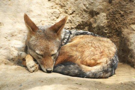 Photo pour Un chacal au dos noir endormi - image libre de droit