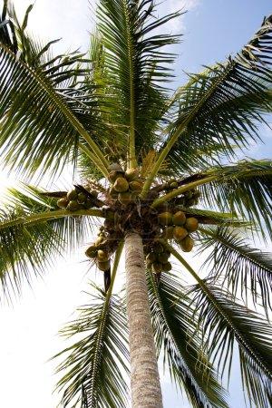 Photo pour Noix de coco jaune poussant sur un palmier tropical - image libre de droit