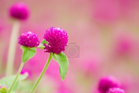 Here are beautiful purple flowers - gomphrena glob...