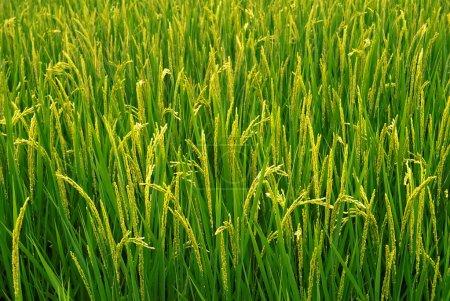Photo pour Belle ferme de riz qui sont cultivés pour la récolte . - image libre de droit