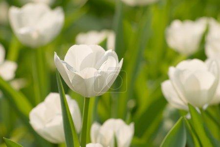 Photo pour Jardin de tulipes avec des fleurs blanches et de couleur verte en journée . - image libre de droit