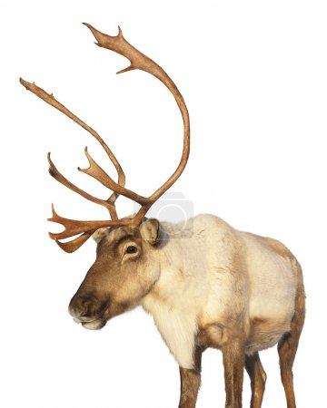 Caribou reindeer isolated looking