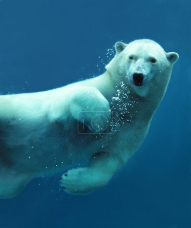 Photo for Close-up of a swimming polar bear underwater looking at the camera. - Royalty Free Image