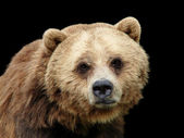 Close-up sad Grizzly bear isolated