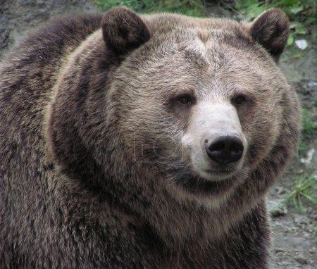 Photo pour Gros plan aigu d'une grizzli femelle sur fond naturel - image libre de droit