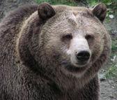 """Постер, картина, фотообои """"Макро самка медведя гризли"""""""