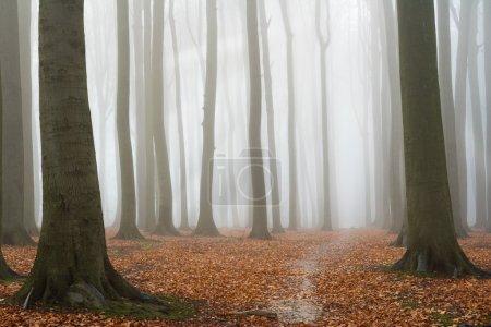 Photo pour Hêtraie automnale brumeuse ; sol couvert de feuilles tombées - image libre de droit