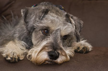 Concerned miniature schnauzer dog laying down