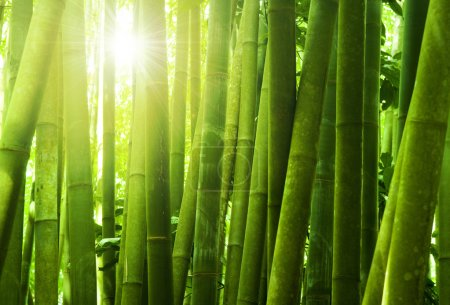 Bamboo forest.