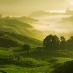 Misty morning in tea farm at Cameron Highland Mala...
