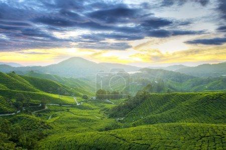 Tea Plantations.