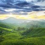 Tea Plantations at Cameron Highlands Malaysia. Sun...