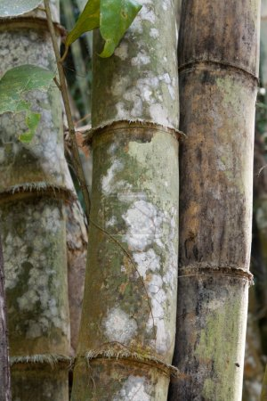 Stems bamboo tree in white mildew