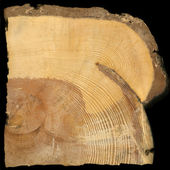 Pine tree rings growing around fire scar
