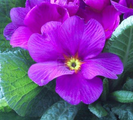 Photo pour Gros plan de fleur rose entre les feuilles - image libre de droit