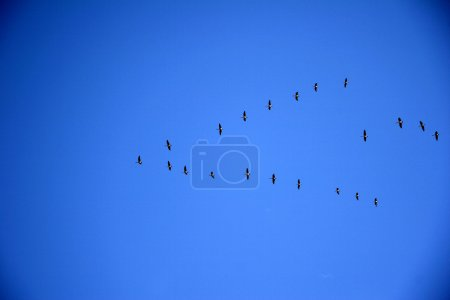 Birds in formation f...