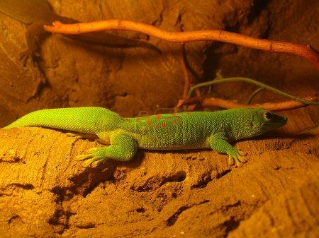 Four Spot Day Gecko